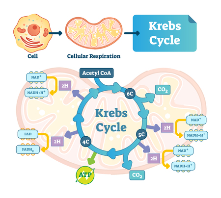 Krebs cycle vector illustration. Citric tricarboxylic acid labeled scheme. Educational diagram with cell, cellular respiration and ATP. Human power molecular metabolism. Ilustração