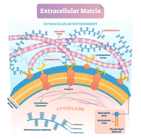 Extracellular matrix labeled infographic vector illustration scheme. Biological diagram with collagen fiber, fibronectin, phospholipid bilayer and cytoskeleton filaments.