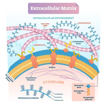 Matrice extracellulaire étiquetée schéma d'illustration vectorielle infographique. Diagramme biologique avec fibre de collagène, fibronectine, bicouche phospholipidique et filaments de cytosquelette. Vecteurs