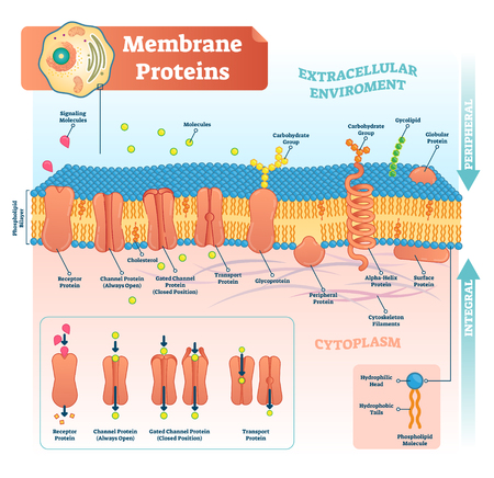Membrane proteins labeled vector illustration. Detailed microscopic structure scheme. Anatomical diagram with receptor, open channel, closed gated and transport protein. Ilustração