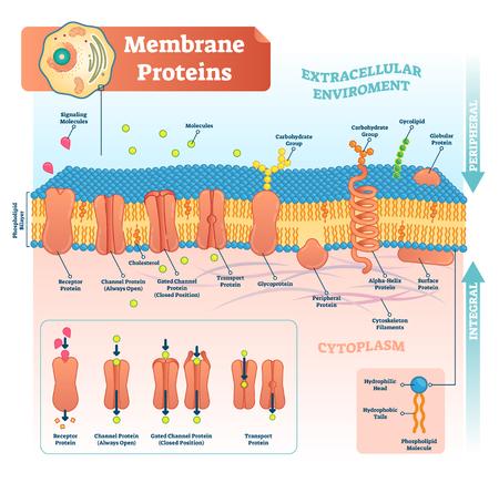 Membranproteine beschriftete Vektorillustration. Detailliertes mikroskopisches Strukturschema. Anatomisches Diagramm mit Rezeptor, offenem Kanal, geschlossenem Gate und Transportprotein.
