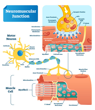 Neuromuscular junction vector illustration scheme. Labeled medical infographic. Motor neuron and muscle cell structure closeup. Diagram with myofibril and muscle fibers. Ilustração
