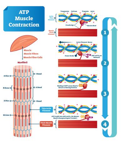Esquema etiquetado de la ilustración del vector del ciclo de contracción del músculo ATP. Diagrama educativo con músculos, fibras y células. Estructura de miofibrilla con filamento fino y grueso. Ilustración de vector
