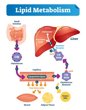 Fettstoffwechsel-Vektor-Illustration-Infografik. Beschriftetes medizinisches Zyklusschema mit Dünndarm, Chylomikron, Kapillaren, freien Fettsäuren, Cholesterin und Leber.
