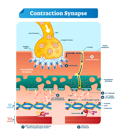 Contraction synapse vector illustration. Labeled closeup medical structure scheme with full cycle of ACH release, action potential, troponin bonding and filament movement