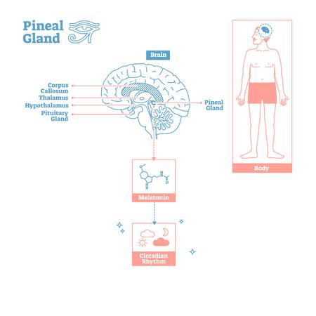 Glándula pineal, de, endocrine system., Ciencia médica, vector, ilustración, diagram., Esquema biológico, con, cerebro, sección transversal, y, melatonina, químico, ritmo circadiano, cuerpo, function., Etiquetado, infographic, cartel