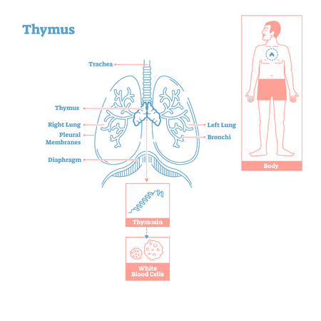 Thymus gland of Endocrine System.Medical science vector illustration diagram.Biological education scheme with thymosin hormone secretion and effecting T cells,white blood cells and human immune system Ilustração