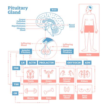 Hypophyse des endokrinen Systems. Medizinisches Vektor-Illustrationsdiagramm. Biologisches Schema mit Prolaktin, Oxytocin und weiteren Hormonen, die Hoden, Eierstock, Niere und andere menschliche Körperteile beeinflussen. Vektorgrafik