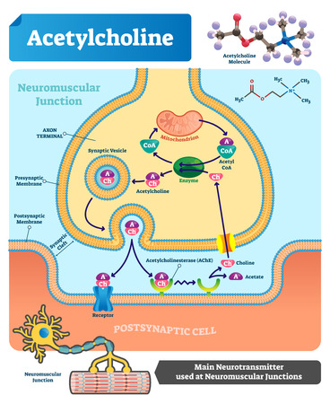 Ilustración de vector de acetilcolina. Esquema etiquetado con estructura de neurotransmisor, unión neuromuscular, vesícula sináptica, axón y hendidura. Diagrama de primer plano anatómico