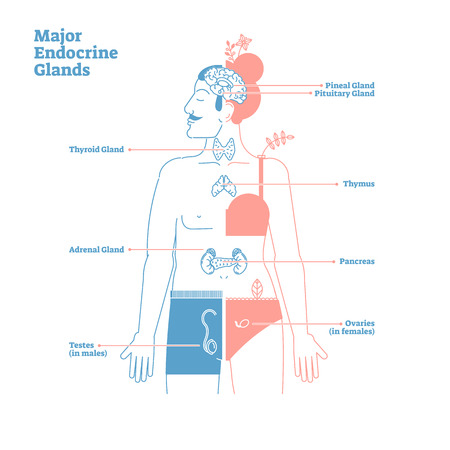 Major Endocrine Glands System. Medical science vector illustration diagram with pineal,pituitary,thyroid,thymus,adrenal,pancreas,testes and ovaries glands secreting human body hormones.Male and female Vector Illustration