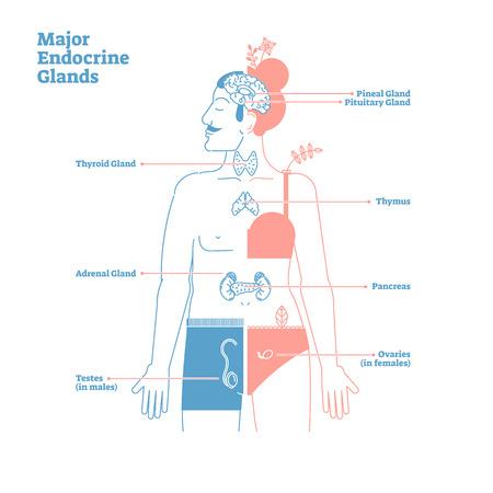 Système majeur des glandes endocrines. Diagramme d'illustration vectorielle de science médicale avec glandes pinéale, pituitaire, thyroïde, thymus, surrénale, pancréas, testicules et ovaires sécrétant des hormones du corps humain. Vecteurs