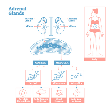 Adrenal Glands of Endocrine System.Medical science vector illustration diagram.Biological scheme with cortisol,aldosterone and adrenaline effects such as metabolism,stress response and blood pressure. Illustration