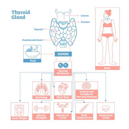 Thyroid Gland of Endocrine System.Medical science vector illustration diagram.Biological scheme with iodine, thyroid hormones T3 and T4 affecting
