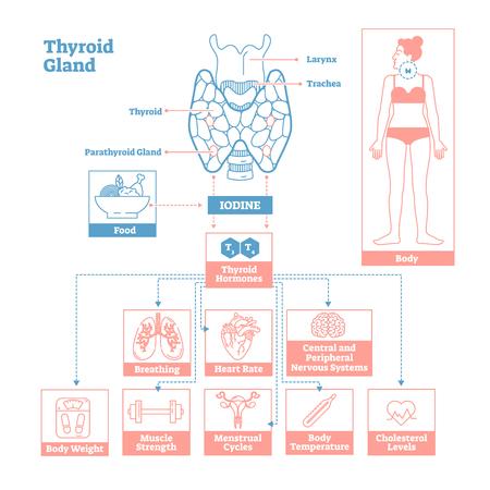 Thyroïde du système endocrinien.Schéma d'illustration vectorielle de science médicale Schéma biologique avec l'iode, les hormones thyroïdiennes affectant