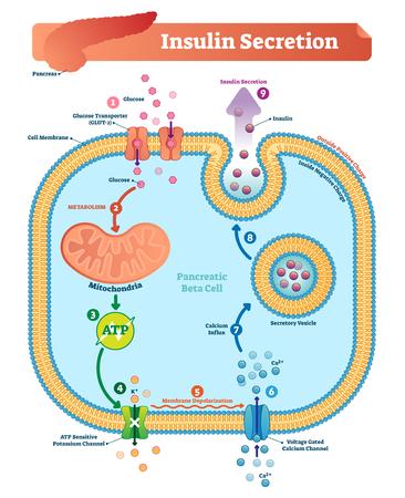Insuline-afscheiding vectorillustratie. Biologische alvleesklierfunctie gelabeld schema. Volledig cyclusdiagram met glucosetransporteur, metabolisme, ATP en kaliumkanaal. Vector Illustratie