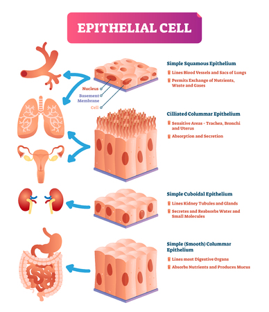 Epithelial cells vector illustration. Medical and anatomical location and meaning scheme. Closeup to simple squamous, cilliated colummar, cuboidal and smooth epithelium.