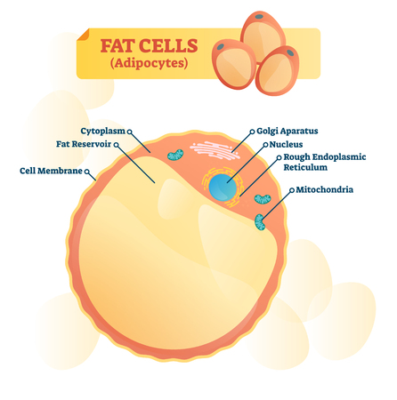 Fat cell structure vector illustration. Labeled anatomical adipocytes scheme. Cytoplasm, reservoir, golgi apparatus and endoplasmic reticulum educational diagram. Ilustração