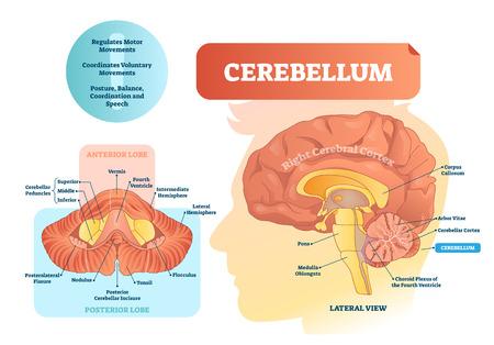 Illustration vectorielle de cervelet. Diagramme étiqueté médical avec vue interne. Lobe antérieur, postérieur isolé et vue latérale. Organe pour la parole, l'équilibre et la coordination Vecteurs