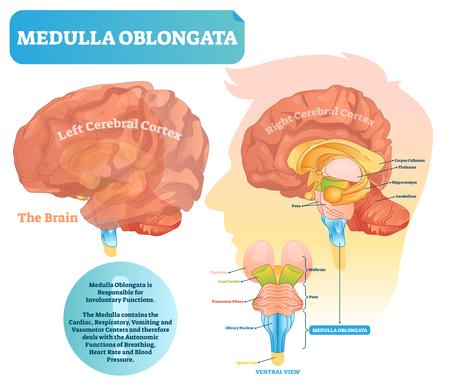 Ilustración de vector de bulbo raquídeo. Diagrama etiquetado con vista ventral y estructura central. Posición del mesencéfalo y la protuberancia. Se muestran los lados de la corteza cerebral izquierda y derecha.