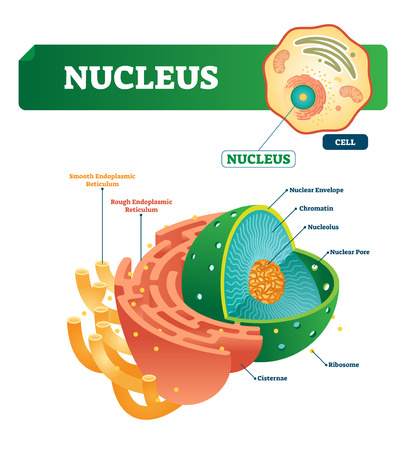 Nucleus vector illustration. Labeled diagram with isolated cell structure. Shown nuclear envelope and chromatin. Outside with smooth and rough endoplasmic reticulum.