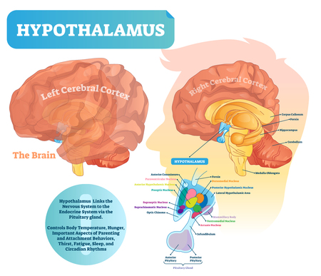 Hypothalamus vector illustration. Labeled diagram with brain part structure. Isolated closeup with pituitary gland parts. Scheme with nucleus, chiasma, and nerves. Illustration