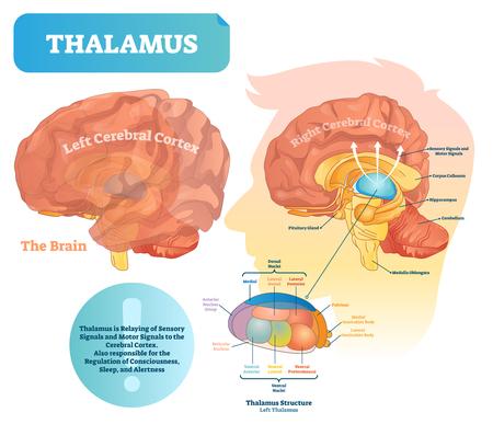 Ilustración de vector de tálamo. Diagrama médico etiquetado con estructura cerebral. Esquema educativo con calloso aislado, hipocampo, glándula pituitaria y bulbo raquídeo.