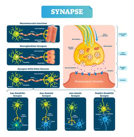 Illustrazione vettoriale di sinapsi. Diagramma etichettato con giunzione neuromuscolare, esempio ghiandolare e altri neiron. Primo piano con struttura isolata di assone, schisi e dendrite.