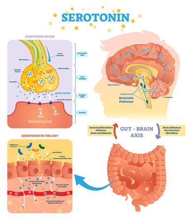 Illustration vectorielle de sérototine. Diagramme étiqueté avec l'axe du cerveau intestinal et le SNC. Le microbiote intestinal influence le comportement cérébral et le cycle intestinal. Infographie pédagogique.