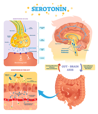 Serototin vector illustration. Labeled diagram with gut brain axis and CNS. Intestinal microbiota influence brain behavior and intestinal cycle. Educational infographic.