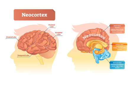 Neocortex vector illustration. Labeled diagram with location and functions. Frontal, parietal, occipital and temporal lobe scheme for human, mammal and reptilian brain. Ilustração