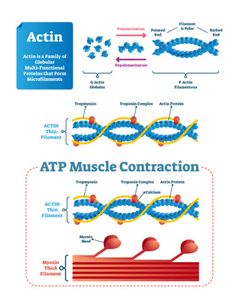 Actin vector illustration. Labeled diagram with protein structure and location. Polymerization explanation with pointed end, polar and barbed. Actin thin filament scheme. Illustration