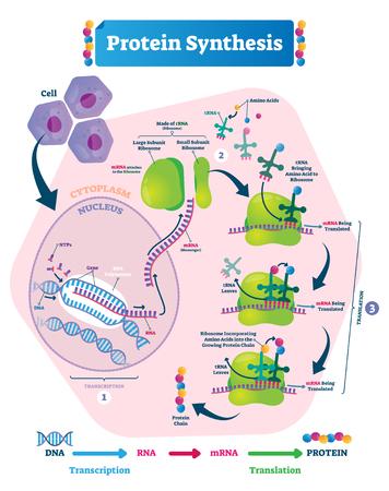 Ilustración de vector de síntesis de proteínas. Diagrama de pasos de transcripción y traducción etiquetados con explicación del ciclo completo. Cómo el cuerpo crea una cadena de proteínas a partir del citoplasma.