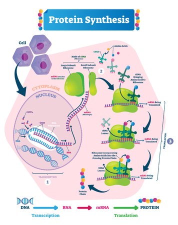 Protein synthesis vector illustration. Labeled transcription and translation steps diagram with full cycle explanation. How body creates protein chain from cytoplasm.