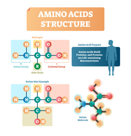 Amino acids structure vector illustration. Labeled example of Serine molecule diagram. Closeup with hydrogen, side chain and carboxyl group. Protein builders that are life sustaining macronutrients. Vektoros illusztráció