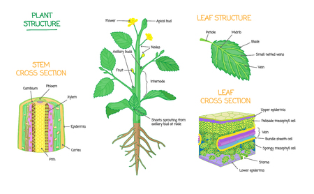Plant structure and cross section diagrams, botanical microbiology vector illustration schemes collection. Stem and leaves labeled closeup drawings with layers and cells. Educational biology poster. Иллюстрация