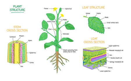 Structure de la plante et diagrammes en coupe transversale, collection de schémas d'illustration vectorielle de microbiologie botanique. Tige et feuilles étiquetées dessins en gros plan avec des couches et des cellules. Affiche de biologie pédagogique.