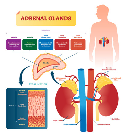Adrenal glands vector illustration. Labeled scheme with all hormones types. Division in medulla, zona glomerulosa, fasciculata and reticulatis. Medical diagram with closeup right gland cross section. 일러스트