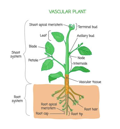 Diagrama de estructura biológica de plantas vasculares con etiquetas, póster de dibujo de ilustración vectorial, esquema educativo con sistema de brotes, sistema de raíces y otras partes como nodos, hojas, brotes y raíz