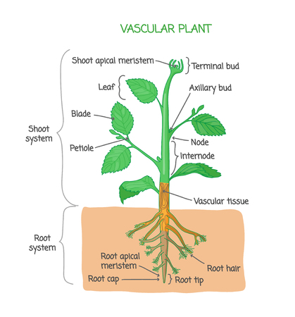 Vascular plant biological structure diagram with labels, vector illustration drawing poster, educational scheme with shoot system, root system and other parts as nodes, leaves, buds and root Illustration