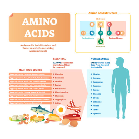 Amino acids vector illustration. List with food and its essential acids. Healthy and well balanced nutrition meal to get necessary chemical elements like histidine, lysing, valine, leucine and others. Vektorgrafik