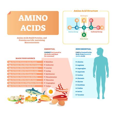 Illustration vectorielle d'acides aminés. Liste avec la nourriture et ses acides essentiels. Repas nutritionnel sain et bien équilibré pour obtenir les éléments chimiques nécessaires comme l'histidine, la lyse, la valine, la leucine et autres. Vecteurs