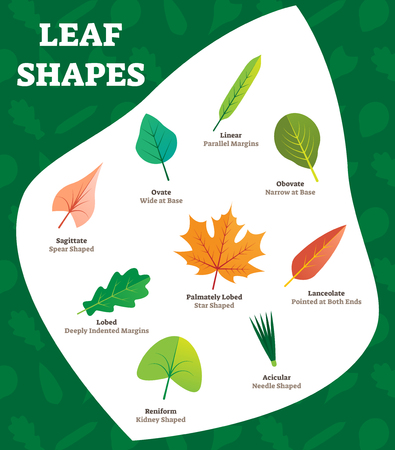 Leaf shapes vector illustration. Beautiful labeled leave kinds collection with linear, obovate, sagittate and palmately lobed examples. Named most biological visual differences and characteristics.