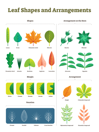Leaf shapes complex vector illustration. Biological characteristic division with arrangement on stem, venation and margins visual difference. Isolated closeup tree foliage examples diagram collection.