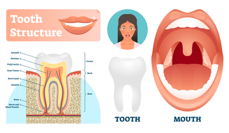 Tooth structure vector illustration. Labeled medical healthy teeth scheme. Educational diagram with enamel, dentine, pulp, gum and root canal location. Isolated smooth classic tooth and mouth examples Illustration