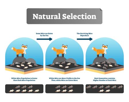 Illustrazione vettoriale di selezione naturale. Schema spiegato con l'evoluzione della vita. Processo ambientale organico selettivo con tutte le specie e gli esseri umani. Esempio di teoria di Darwin educativo e vantaggio di mutazione