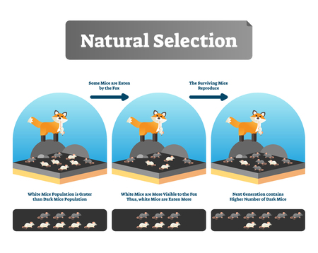 Natural selection vector illustration. Explained scheme with life evolution. Selective organic environment process with all species and humans. Educational Darwin theory example and mutation advantage Stock Illustratie
