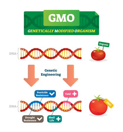 GMO vector illustration. Organic and modified agricultural plants scheme. Compared healthy natural tomato with scientific changed pesticide and drought resistance, yield and shelf life characteristics Ilustrace