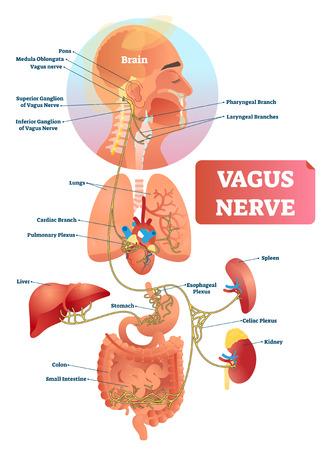 Ilustración de vector de nervio vago. Esquema de estructura anatómica etiquetado y diagrama de ubicación del nervio más largo del cuerpo humano. Infografía con ganglio aislado, ramas y plexo. SNA biológico interno.