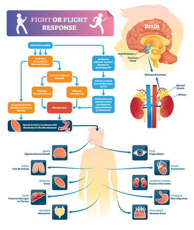 Fight or flight response vector illustration. Labeled organ response scheme in danger situations. Chemical anatomical process diagram with explained inner organs activity. Educational infographics.