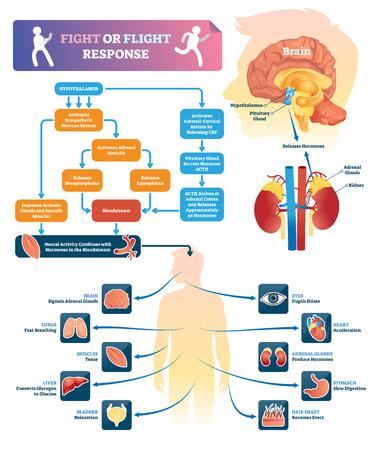 Kampf- oder Flugreaktionsvektorillustration. Beschriftetes Organreaktionsschema in Gefahrensituationen. Chemisch-anatomisches Prozessdiagramm mit erklärter Aktivität der inneren Organe. Bildungsinfografiken.
